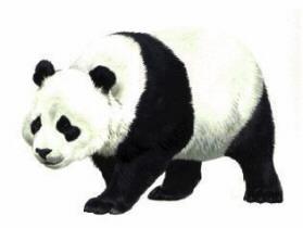 Beary Bears: Panda Bear Facts